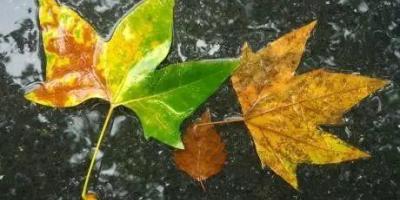  梧桐叶落知秋意,池水渐凉蝉唱稀